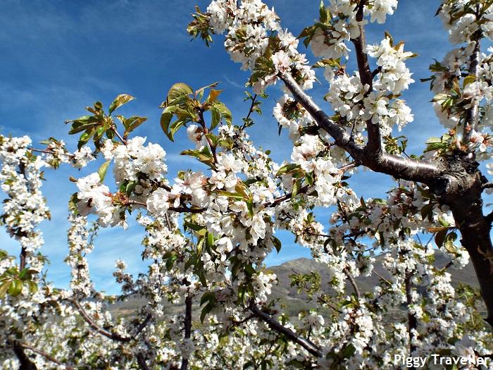 Cherry trees, Jerte Valley