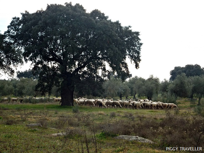 extremadura-herd-sheep
