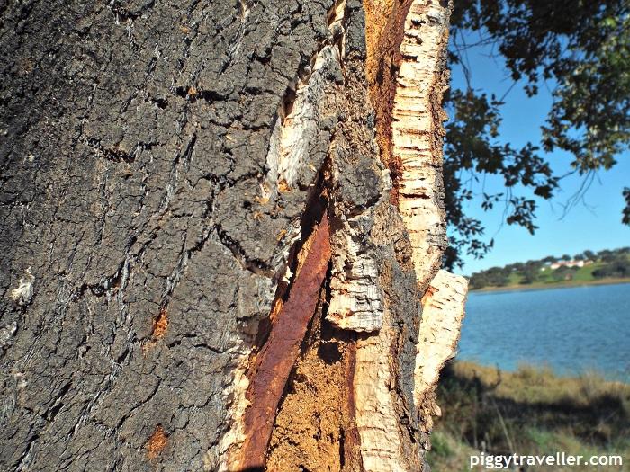 cork oak in cornalvo natural park
