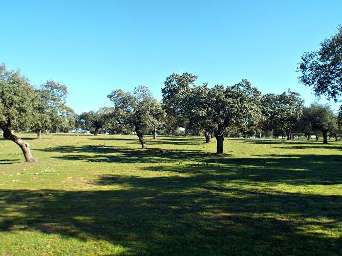 dehesa, holm-oak wood