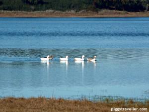 ducks in the reservoir