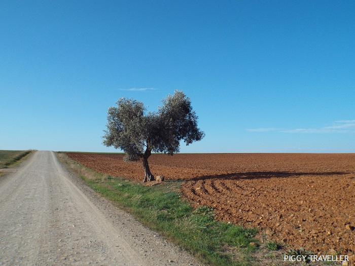 olive tree, Extremadura