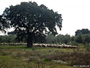 extremadura-herd-sheep