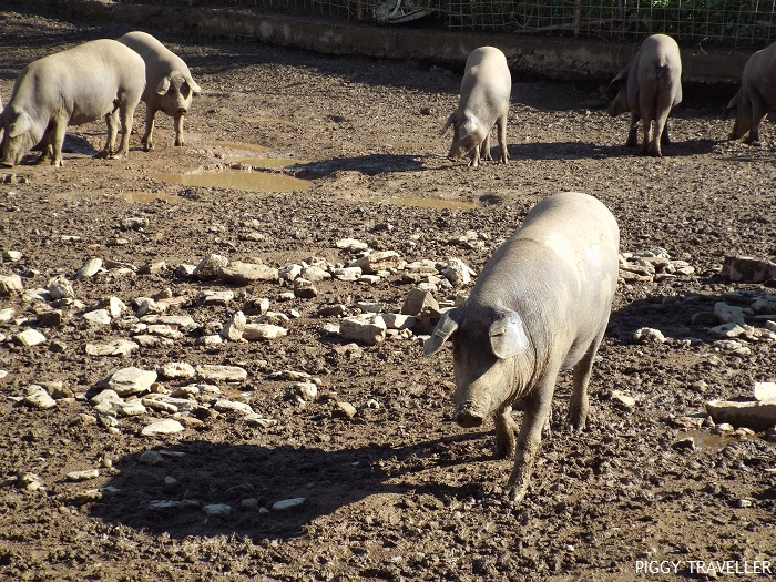 iberian-pigs-black-pigs-spanish-pigs