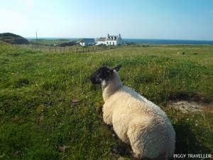 scotland-sheep-isle-of-iona
