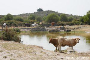 cows in Los Pajares, Santibanez el Alto, Sierra de Gata, Extremadura, Spain