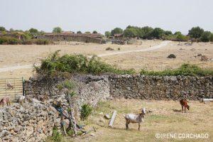 goats in Los Pajares, Santibanez el Alto, Sierra de Gata, Extremadura, Spain